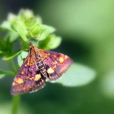 Mint Moth / Muntvlindertje (Pyrausta aurata)