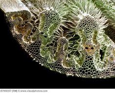 Colour SEM of section through leaf of marram grass