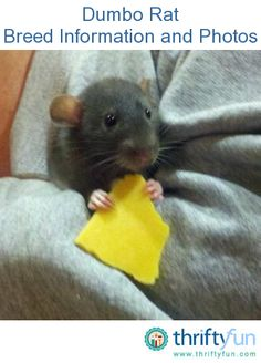 This guide is about dumbo rats - breed information and photos. These large eared pet rodents are quite sociable and laid back.