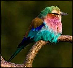 lilac breasted roller - this is one of the most beautiful birds Pretty Birds, Love Birds, Beautiful Birds, Animals Beautiful, Cute Animals, Beautiful Things, Small Birds, Colorful Birds, Indian Roller
