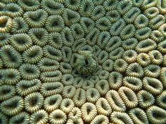 Favia spp. by Cubozoa, via Flickr