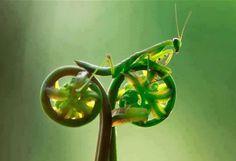 A praying mantis on tendrils... amazing looks like it's on a bike