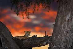 Leopard Cub by Brendon Cremer on 500px