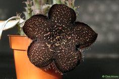Tridentea gemmiflora - Flor-cadáver
