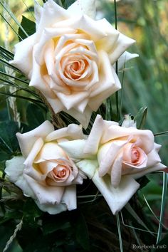 'Vanilla Perfume' | Hybrid Tea Rose. Dr. Keith W. Zary, 1999 | © galusik