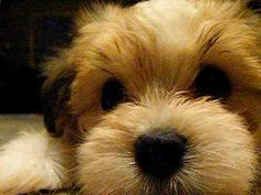 """*VIDEO:  MAJOR CUTE ALERT!!!*  This Havanese puppy is """"mad"""" & he's not going to take it anymore!"""