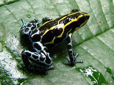 Amazon Poison Dartfrog - Ranitomeya ventrimaculata