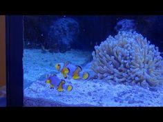 Saltwater Aquarium ORA Snowflake Clownfish Pair