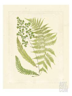 Ferns with Platemark III Giclee Print at Art.com