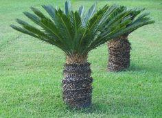 Sago Palm Care   Sago palm care