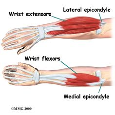 Wrist extensors (pronated ulnar-pinky side) Wrist flexors (supinated -ulnar pinky side)