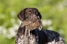 Image detail for -German shorthaired pointer hunting dog carrying a quail picture ...