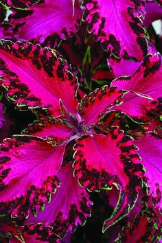 Coleus 'Pink Chaos:' Hot-pink leaves with ruffled, variegated borders edged with a thin line of light green make 'Pink Chaos' look like an explosion of neon paisley. Grows 6 to 18 inches tall. Can be perennial in Zones 10 to 11, but elsewhere is an annual. Part to full sun. Used in beds, borders, and containers.
