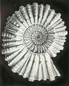 Haeckel Douvilleiceras mammillatum