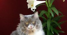 Ravissante fleur symoblisant la fête de Pâques, le lys (ou lis) égaye bien des intérieurs et jardins en cette période de l'année. Mais attention si vous avez un ou des matous à la maison, car le Lys de Pâques est dangereux pour les chats, comme bon nombre de plantes de la famille des liliacées telles que le lys oriental stargazer et le lys de la paix.