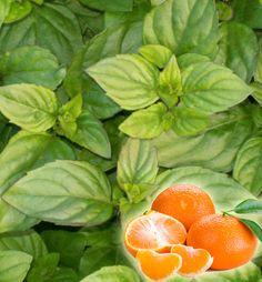 Mäta mandarínková ´TANGERINE´