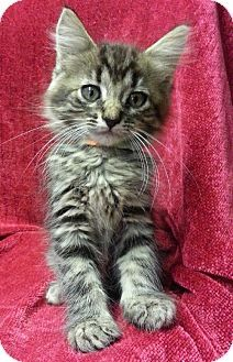 Prattville, AL - Domestic Mediumhair. Meet Lindsey 21047, a kitten for adoption. http://www.adoptapet.com/pet/11426243-prattville-alabama-kitten