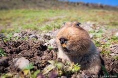 giant mole-rats - Google Search