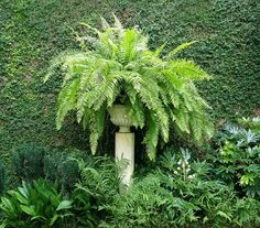 21 Best Ferns For Containers That You Can Grow Indoors & Outdoors Easily | Balcony Garden Web