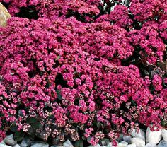 NEW! Sedum Dazzleberry    This new groundcover Sedum is welcomed as an early-blooming breakthrough. In midsummer, broad clusters of bright raspberry-pink flowers stand staunchly upright on 8in stems; the smoky blue leaves mature to dark purple, emphasizing those marvelous blossoms.