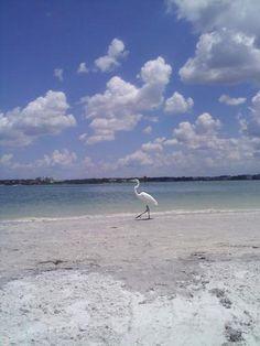 sandhill crane on clearwater beach