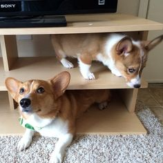 ventusthecorgi:  Our little angel and our little troll.. :)
