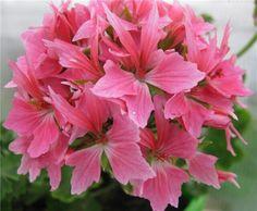 Cathay pelargonium