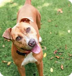 American Pit Bull Terrier Boston Terrier Mix Dog For Sale In Nashua New Hampshire Pepper
