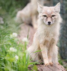 Graceful corsac fox by Jan M. on 500px Il est tous simplement magnifique!!