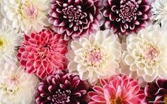 Red Dahlia Flower Macro HD Wide Wallpaper for Widescreen Wallpapers) – HD Wallpapers Hd Flowers, Dahlia Flower, Unique Flowers, Amazing Flowers, Vintage Flowers, Colorful Flowers, Spring Flowers, Flower Images Wallpapers, Beautiful Flowers Wallpapers