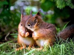 European red squirrels sharing food