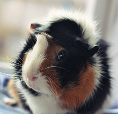 my guinea pig Lucky :) by Pia_C, via Flickr