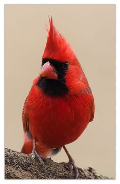 Male Cardinal Love Birds, Beautiful Birds, Animals Beautiful, Cute Animals, Pretty Birds, Cardinal Pictures, Bird Pictures, Animal Pictures, Exotic Birds