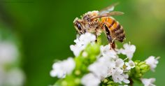 A new study proves that neonicotinoid insecticides cause brain impairment in bees and play an important role in the poor functioning of colonies. http://healthypets.mercola.com/sites/healthypets/archive/2015/05/26/neonicotinoid-affects-bees-brains.aspx