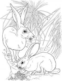 Find This Pin And More On Animal Colouring Pages Black Tailed Jackrabbits Coloring Page