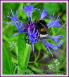 Bourdon terrestre sur fleur de Bleuet..