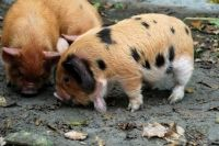 Kune Kune pig Pet Pigs, Guinea Pigs, Kune Kune Pigs, Farm Animals, Cute Animals, Pig Breeds, Teacup Pigs, Mini Pigs, Cute Piggies