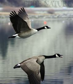 I love Canada Geese