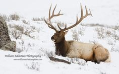 Elk in snow