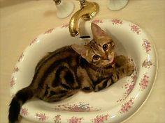 Itty bitty Bengal kitty!  Looks just like my Spot. <3