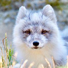 Adorable White & Grey Fox -