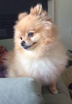 Sweet Pomeranian