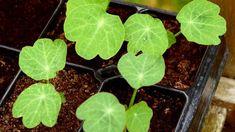 Lichořeřišnice větší (Tropaeolum majus) se u nás pěstuje už přes 400 let; lidově se jí říká řeřicha. V Německu byla zvolena léčivkou budoucnosti, protože vykazuje silné antibiotické účinky. Cabbage, Vegetables, Food, Veggies, Essen, Cabbages, Vegetable Recipes, Yemek, Kale