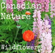 Five part blog post series about Canadian Nature ~ Part One: Wildflowers