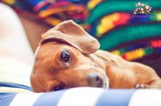 introducing Miss Pretzell doxie Weenie Dogs, Dachshund Puppies, Dachshund Love, Cute Puppies, Cute Dogs, Doggies, Daschund, Dog Love, Puppy Love