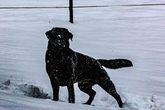 Graf Aiko von der hohen Reute #black #Labrador #Retriever
