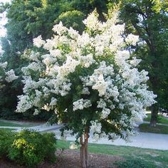 Crepe Myrtle...Natchez, fast growing, 25' mature height, leaves turn red in Autumn, a showy beauty