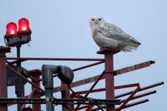 Snowy owls are drawn to the low, flat land around Logan. -- BOSTON GLOBE content