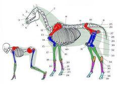 man compared to horse :: pic Serkan Erdogan Horse Anatomy, Animal Anatomy, Human Anatomy, Horse Information, Horse And Human, Animal Medicine, Horse Facts, Animal Science, Science Fair