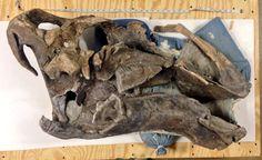Crâne holotype de Gryposaurus monumentensis.